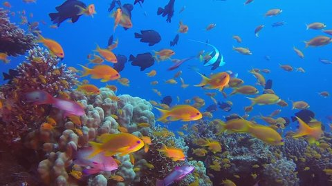 Underwater Red Sea Coral Reef. Picture of beautiful underwater colorful fishes scalefin anthias fish in the tropical reef of the Red Sea, Dahab, Egypt.