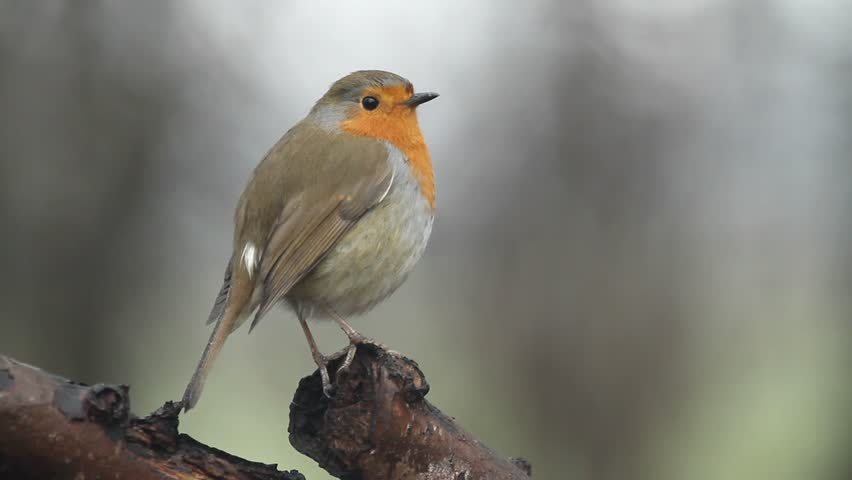 A beautiful Robin (Erithacus rubecula) perched on a branch of a tree.  | Shutterstock HD Video #33992647