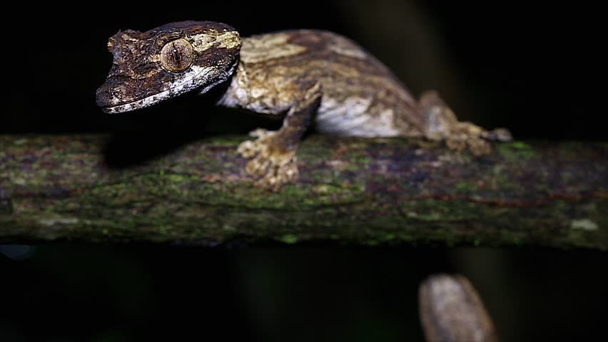 Header of Uroplatus guentheri