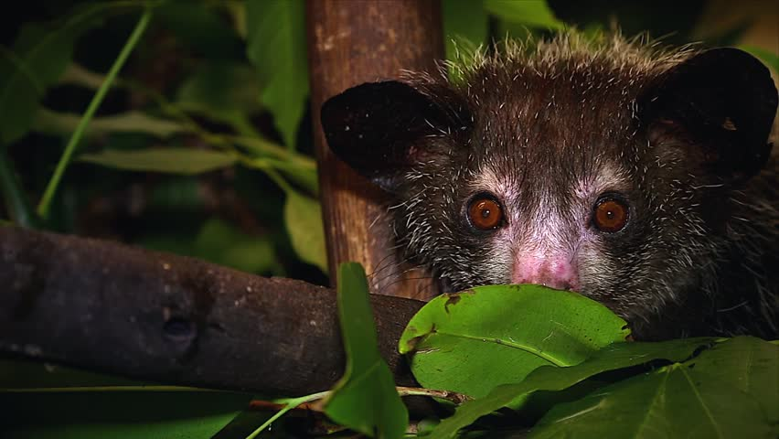Very rare Aye-aye in a tree in the wilds of Madagascar. This is one of the most elusive nocturnal lemurs. Footage is extremely rare.