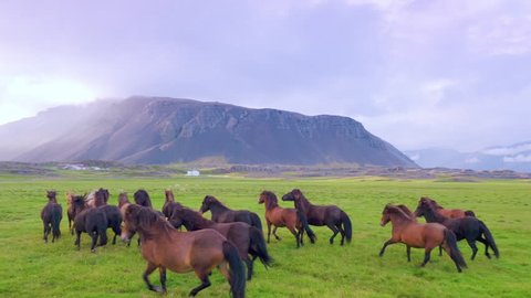 Epic Aerial Over Wild Horses Running Slow Motion Through Meadow Beautiful Iceland Mountains Background Horse Breeding Liberty Travel Destination