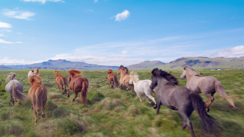 Aerial Flyover Over Wild Horses Running Slow Motion Through Meadow Iceland Summer Colors Freedom Liberty Travel Destination