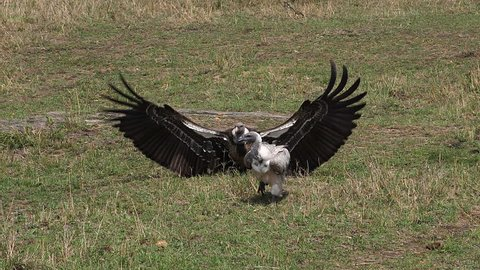 African White Backed Vulture, gyps africanus, Ruppell's Vulture, gyps rueppelli, , Masai Mara Park in Kenya, Slow motion