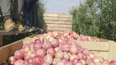 A man pours a bucket of apples into wooden boxes. close up