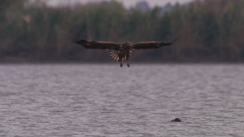 White-tailed eagle in Hungary