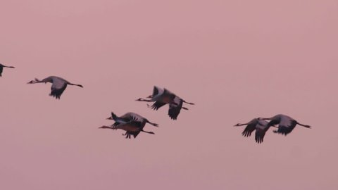Cranes migration in Hungary, Central-Europe