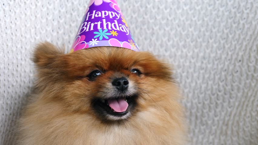 Small Cute Dog In Birthday Hat Close Up 4K