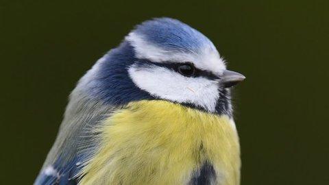 Blue Tit close up. Blue Tit footage.