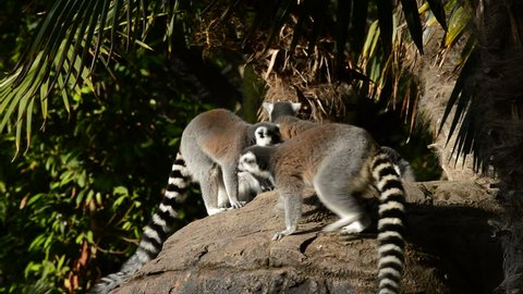 Ringtail lemur jumping in a rock with a group of lemurs sunbathing - Lemur catta