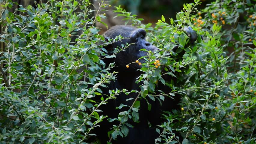 Common chimpanzee eating leaves between vegetation - Pan troglodytes