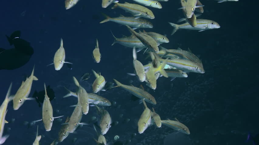 A large school of The yellowfin goatfish, Mulloidichthys vanicolensis, are swimming in a coral reef, WAKATOBI, Indonesia, slow motion   Shutterstock HD Video #34234147