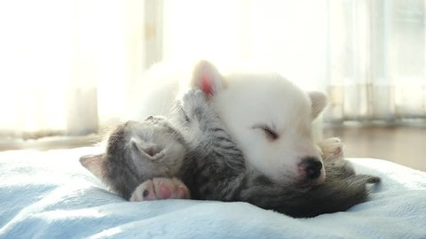Cute tabby kitten and siberian husky playing on the bed slow motion