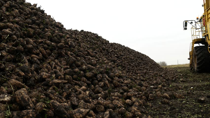 Agricultural vehicle harvesting sugar beet. Fresh sugar beets on the field farm