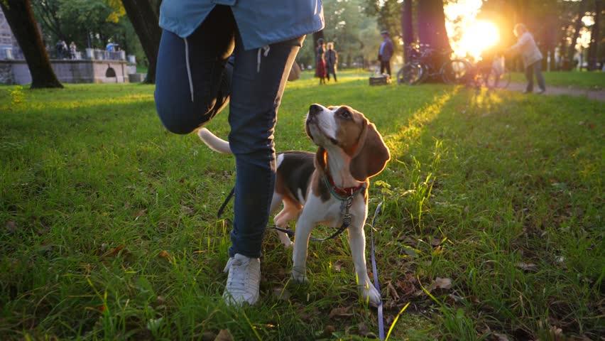 Wonderful Small Leg Beagle Adorable Dog - 11  HD_656012  .resize(height:160)