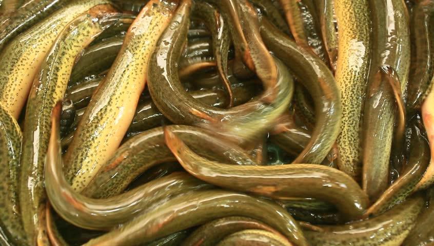 eels-video-japan
