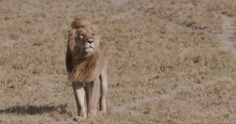 Magnificent male lion walking across the African grasslands.