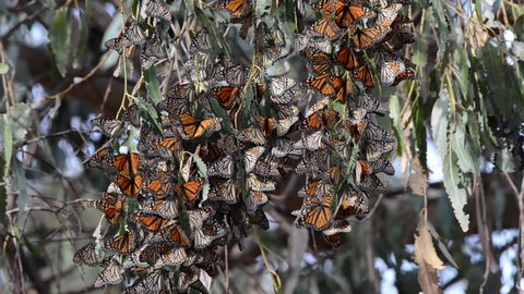 HD Video of many Monarch Butterflies in a Eucalyptus tree, clustering together to keep warm as the temps drop in evening. The monarch butterfly may be the most familiar North American butterfly