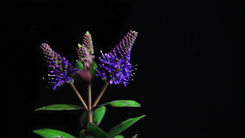 Hummingbird on Blooming Flowers Time lapse sequence | Shutterstock HD Video #3437657