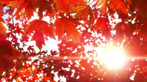 4K Maple Fall Autumn Leaves, Beautiful Red Light Nature Forest Bright Lens Flare