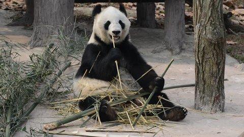 Giant Panda eating bamboo near Chengdu, Sichuan Province, China HD video