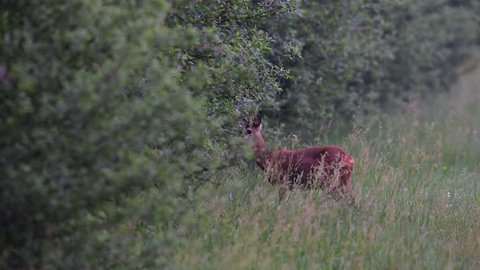 Roe buck standing on the meadow, summer, (capreolus capreolus)