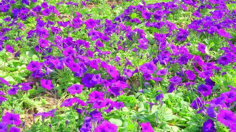 Purple (violet) petunia hybrida flower bed floral background