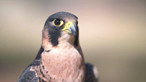 Portrait of African Peregrine falcon head and shoulders large DoF