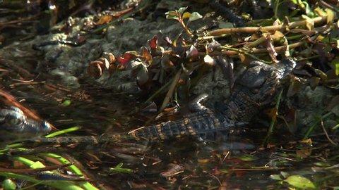 Alligator Hatchlings