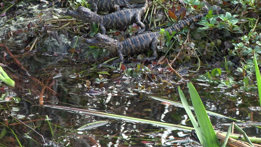 Alligator Hatchlings
