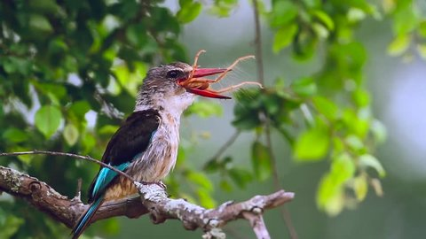 Brown hooded Kingfisher in Kruger National park, South Africa; Specie Halcyon albiventris family of Alcedinidae