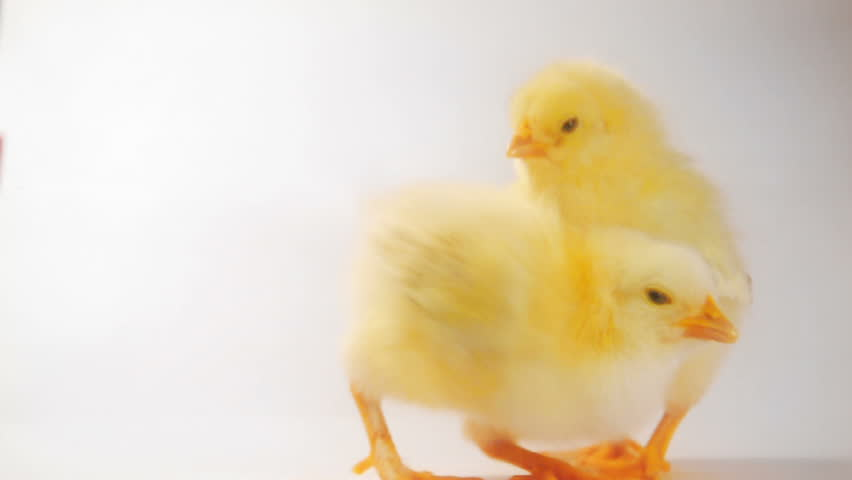 Crazy chicken dance :) | Shutterstock Video #3460619