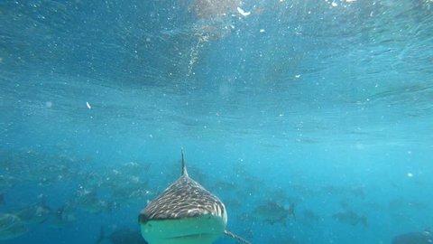 Grey reef shark bites camera