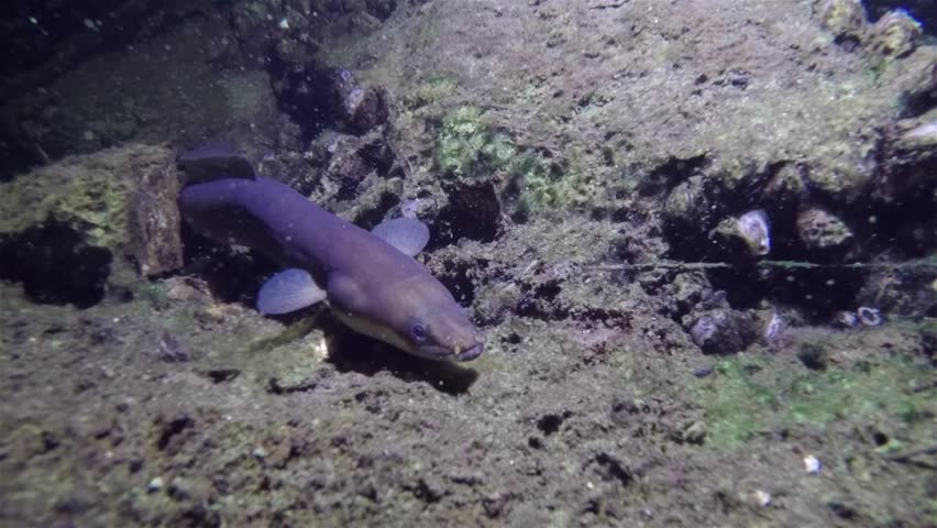 Eel fish (anguilla anguilla) in the beautiful clean water. Underwater footage in the river. Wild life animal. Eel in the nature habitat with nice background.