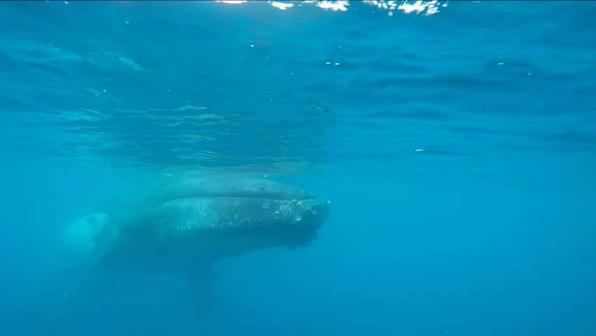 Humpback whale underwater footage while the whale dives.