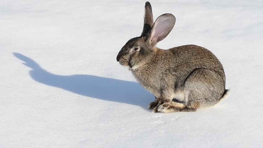 Grey rabbit washing up on the snow