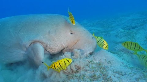 Dugong eating on the sea grass in slow motion, Marsa Alam, Red Sea, Egypt