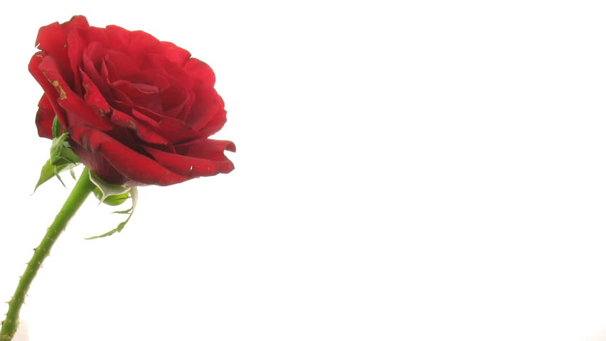 Time-lapse of dying red rose isolated on white 7