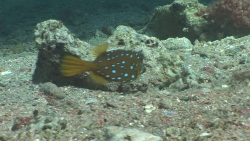 box fish underwater boxfish food