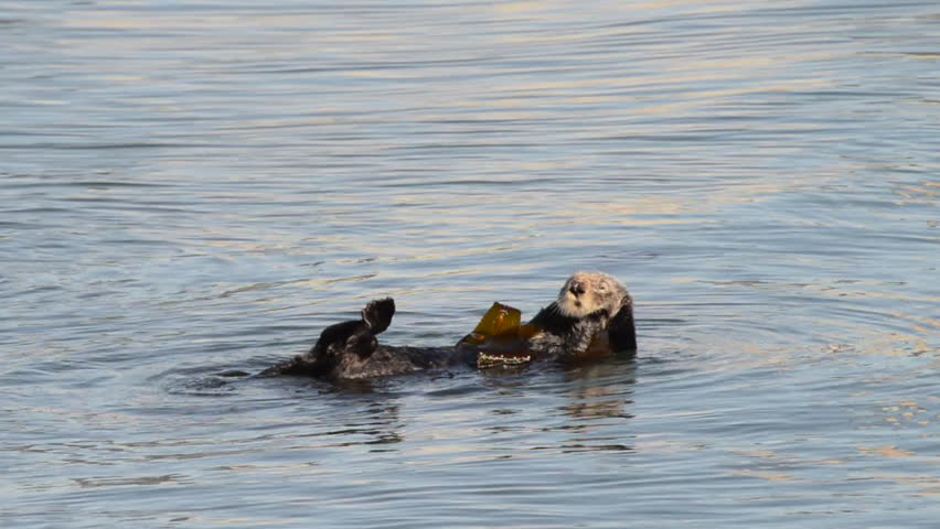 HD Video of California Sea Otter grooming and playing in shallow ocean waters close to shore. #34892077