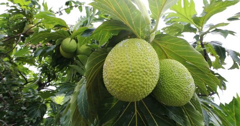 Breadfruit from French Polynesia travel. Breadfruit is a species of flowering tree in the mulberry and jackfruit family originating in the South Pacific and eventually spreading to the rest of Oceania