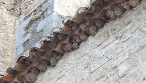 Swallows nests at ancient church. Swallows feeding their young.