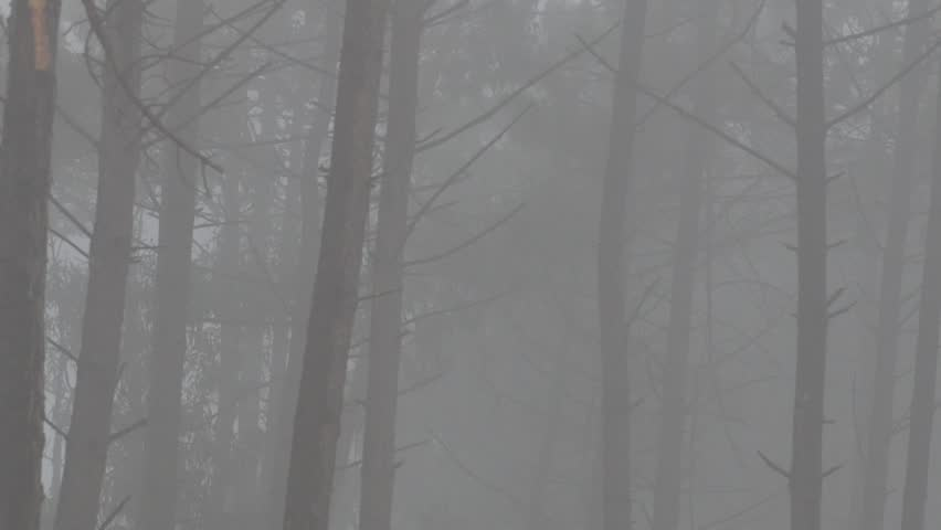 Static shot of Pine tree forest during a misty morning in the winter in Nazare, Portugal