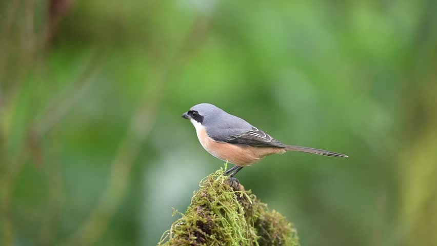 Beautiful of Grey-backed Shrike ( Lanius tephronotus ) Bird. Standing on a branch in real nature of Thailand. Winter visitor | Shutterstock HD Video #34987147