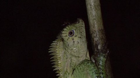 Ant walk over Forest Lizard head on branch in rainforest at night