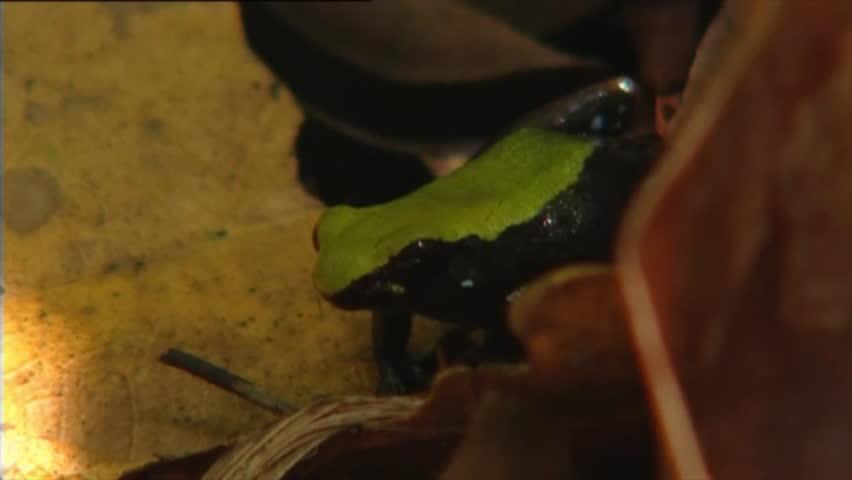 Climbing Mantella Frog Nosy Mangabe Stock Footage Video (100% Royalty-free)  3563057 | Shutterstock