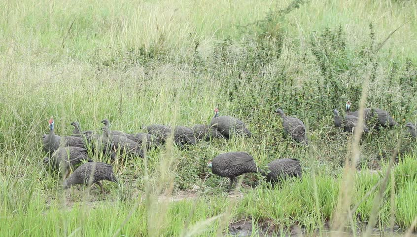 Flock of helmeted guinea fowls pecking the grass for food.