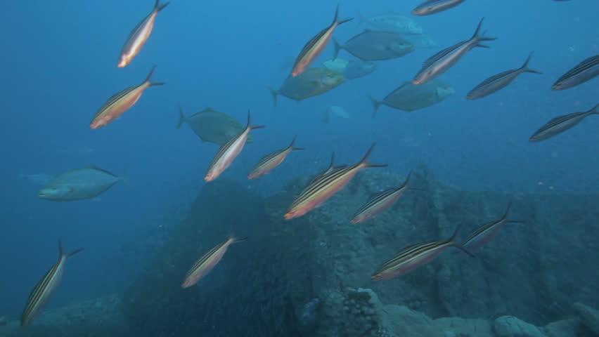 Shoal of Jacks feeding on shoal of bait fish | Shutterstock HD Video #3577907