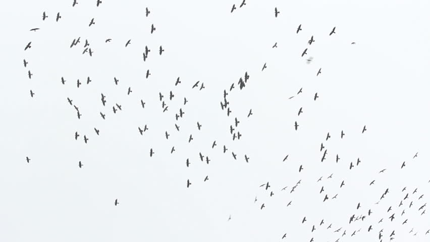 Many crows flying #3588797
