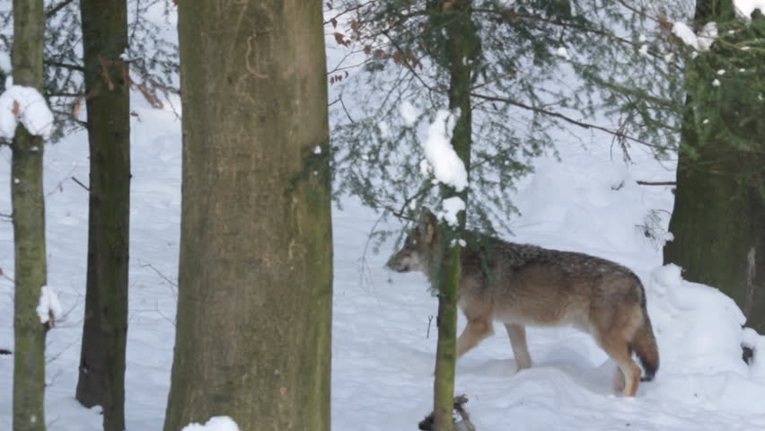 Gray wolf (Canis lupus) walking in the snowy forest in winter.