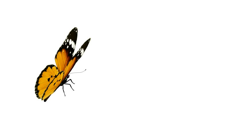 Butterfly Animation Loop Alpha Channel Is Included